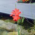 Erste Wasserpflanze blüht
