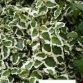 Ficus pumila (Kletter-Ficus, Kletterfeige)