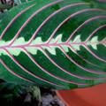 "Maranta leuconeura ""fascinator tricolor"""