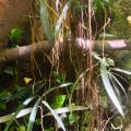 Lianen vom Ficus Benjamin