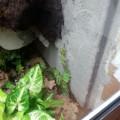 Marcgravia umbellata + Synogonium podophyllum