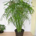 Cyperus Arten (Zypergräser)