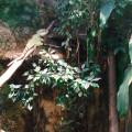 Luftwurzeln, Ficus