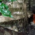 """Ficus Benjamin """"Lianen"""""""