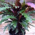 Calathea rufibarba (Korbmarante)