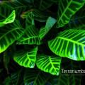 Calathea zebrina
