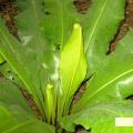 Asplenium nidus / Afrikanischer Nestfarn