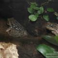 Kröten im neuen Becken