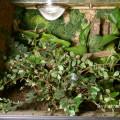 Terrarium für  Psalmopoeus irminia