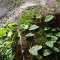 Hypertufa Rückwand mit Ficus