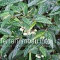 """Begonia corallina x albopicta """"Tamaya"""""""